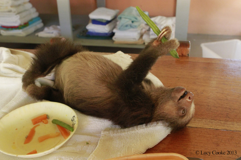 9. Very hungry sloths.