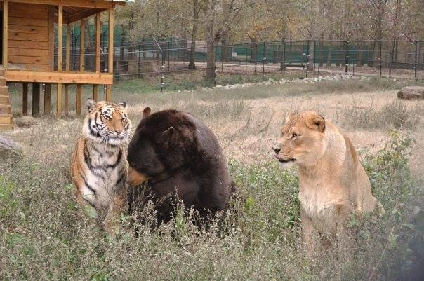 12. Baloo's surgery was the first time the three cubs had ever been separated.