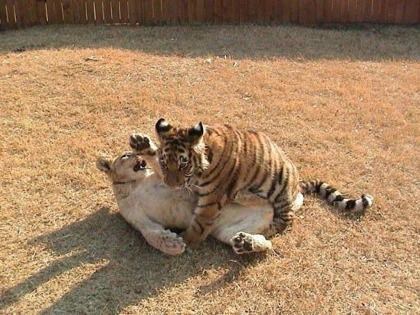 13. Shere Khan and Leo became agitated during Baloo's surgery, pacing and crying for their lost brother.