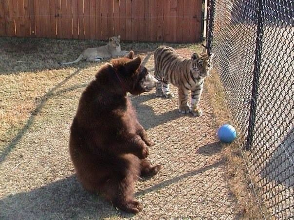 6. Although Leo seems lazy, he is know to turn into a different cat during enrichment time and is always the first to explore a new scent.