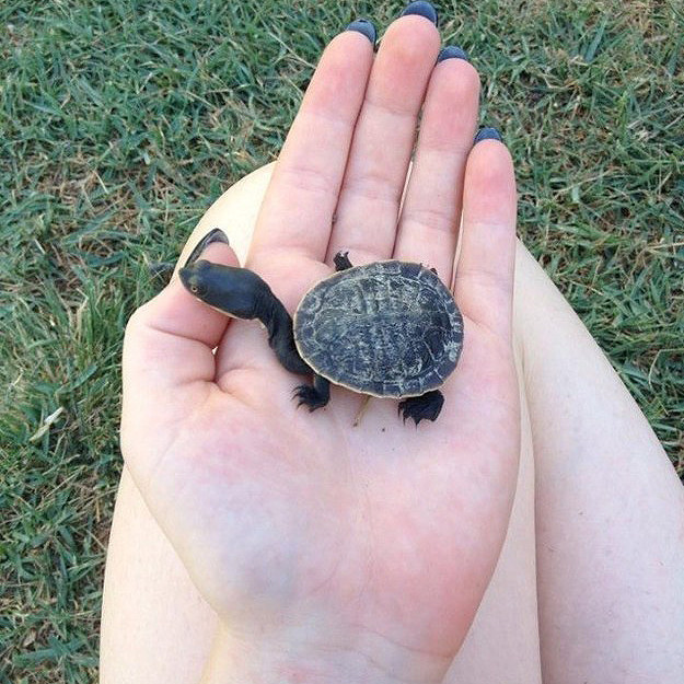 5. Yurtle The Tiny Long-Necked Turtle.
