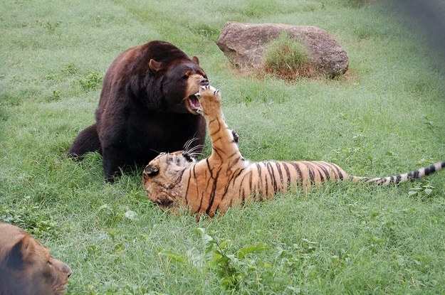 8. He is always trying to pounce on Baloo and Leo.