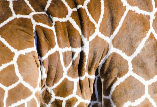 10. Their spots are like human fingerprints- no two giraffes have the same pattern.