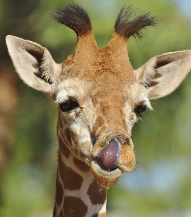 14. These majestic creatures use their 50cm long tongue to pick their nose and clean their ears.