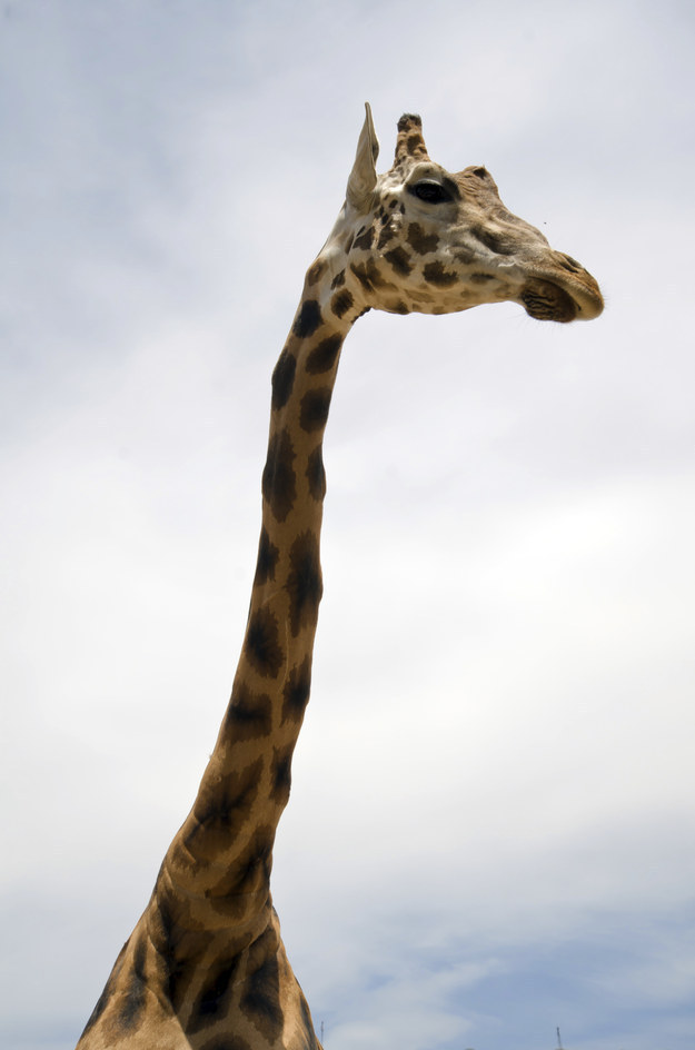 21. They have the longest neck of any animal in the world.