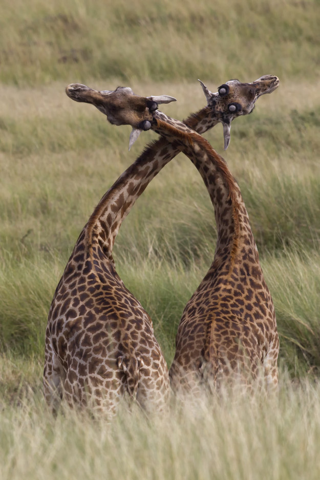 22. Male giraffes fight by rubbing and twisting their necks together. Sometimes this test of strength arouses the giraffes so much that they stop fighting and move onto… other things.