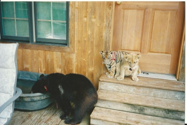 1. Baloo the American Black Bear, Leo the African Lion, and Shere Khan the Bengal Tiger were all born in early 2001.