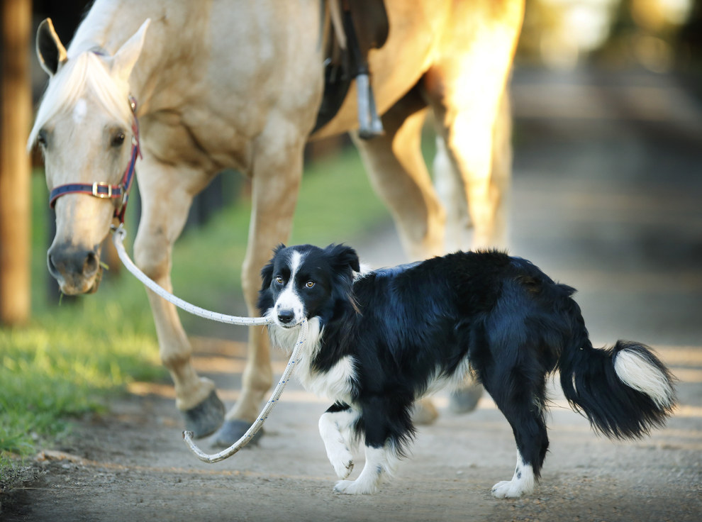 He's a one-year-old border collie who works at Equestrian Excellence in Melbourne.