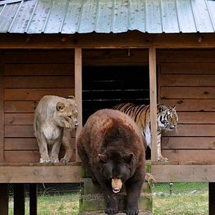 14. After his surgery, Baloo was returned to his brothers and the three have been together ever since.
