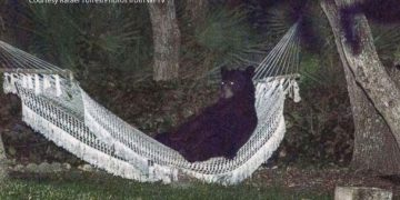 A super chill bear got tired from wandering around and doing bear things, and decided to take a breather in a man's hammock in Daytona Beach, Fla.