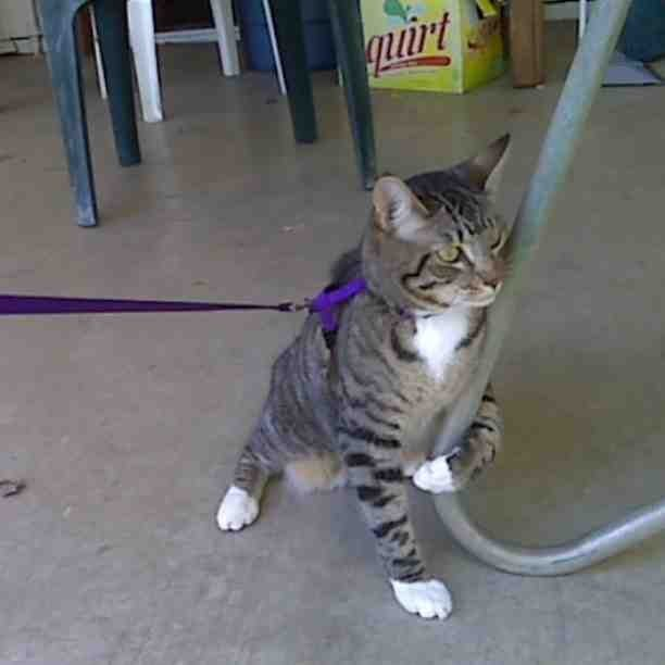 12. The cat who said yes to the leash but drew the line at an actual walk.