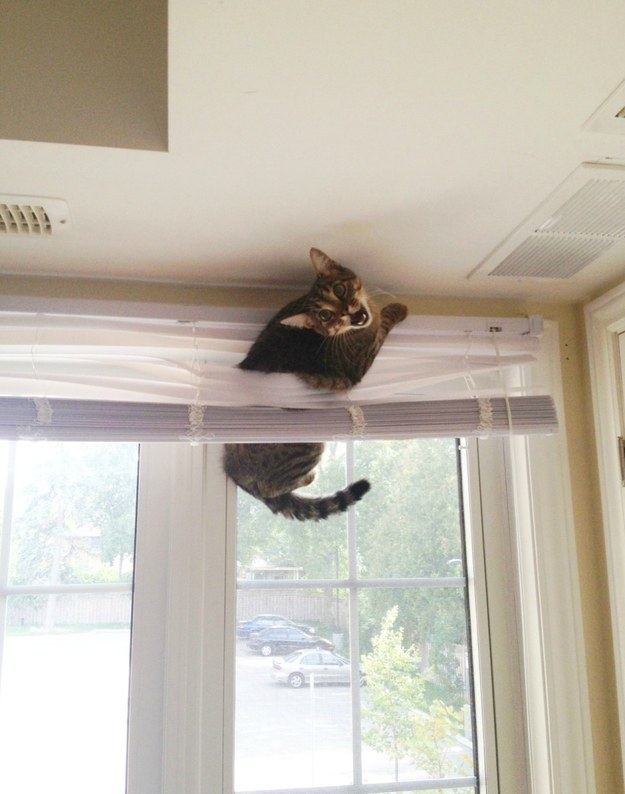 9. The cat whose love/hate relationship with your blinds will be his undoing.