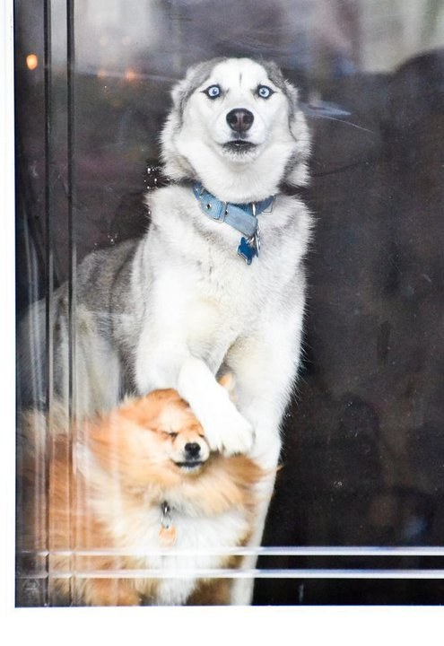 6. Very concerned large dog and very confused and smothered small dog vs. glass door:
