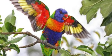 13. Rainbow Lorikeet