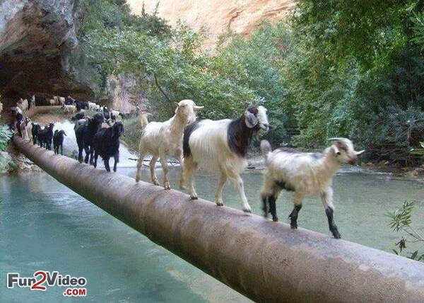 Funny Goat Pictures Doing Cat Walk