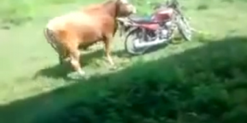cow and moto